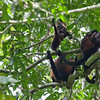 Golden-Mantled Howler Monkeys, Prehensile Tails