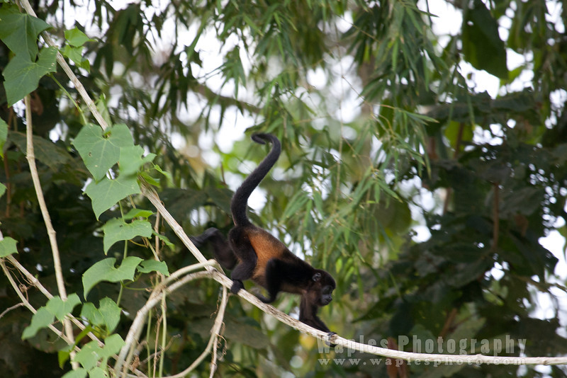 Howler Monkeys near Lake Arenal