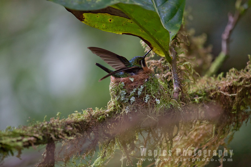Purple-throated Mountain Jem, Female