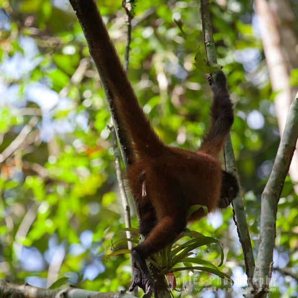 Spider Monkey, female