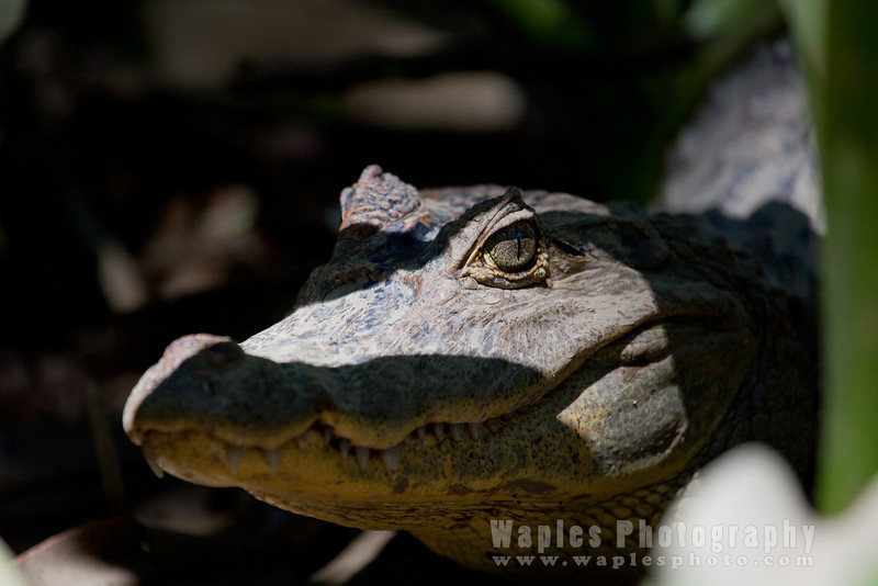 Spectacled Caiman in the Shadows