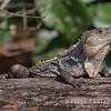 Ctenosaur Lizard