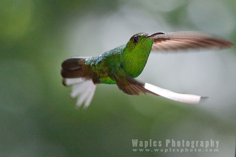 Green Breasted Mango Hummingbird