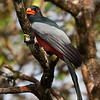 Slaty-tailed Trogon, male