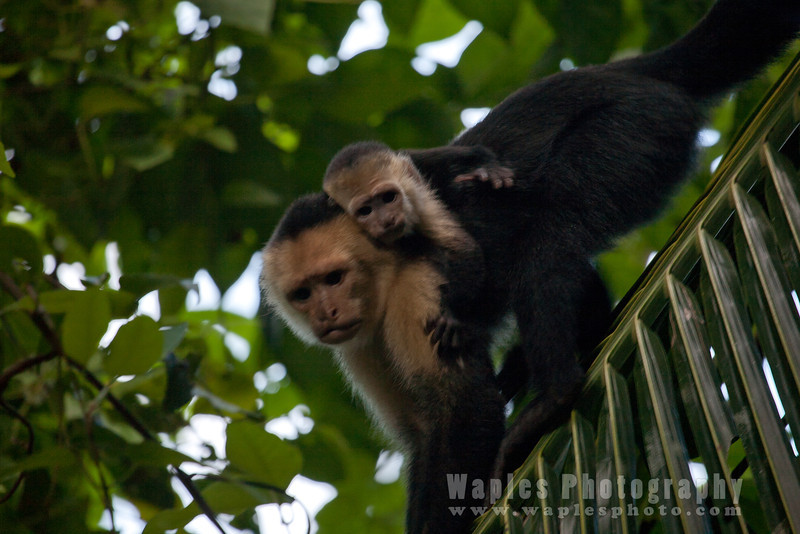 White-face (Capuchin) Monkey with Young