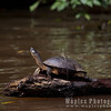 Turtle & Baselisk Lizard