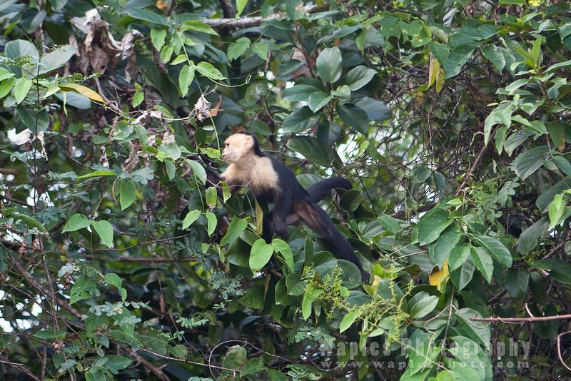 Capuchin Monkey Searching for Food