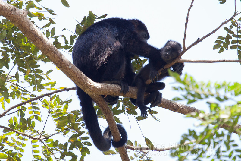 Howler Monkey, holding young while it sleeps