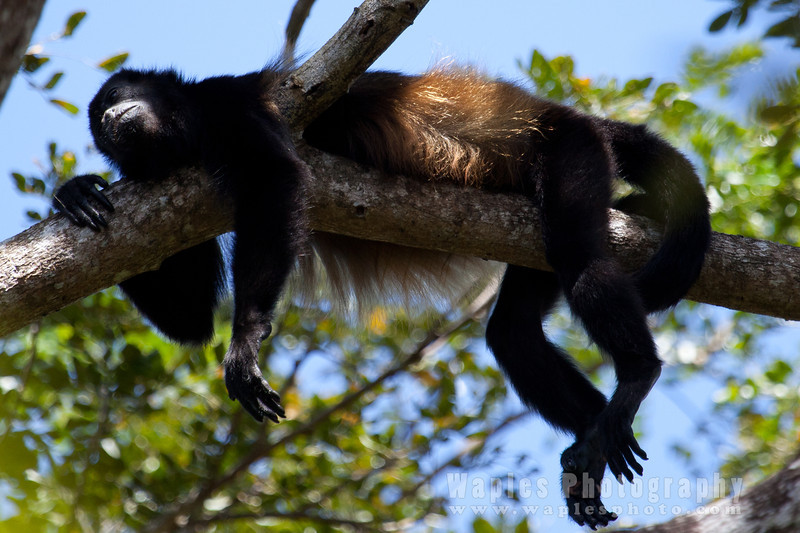 Howler Monkey in repose