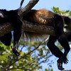 Howler Monkey in repose