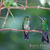 Two Green-crowned Brilliants, female