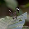 Delicate Glasswinged butterfly (Greta oto)