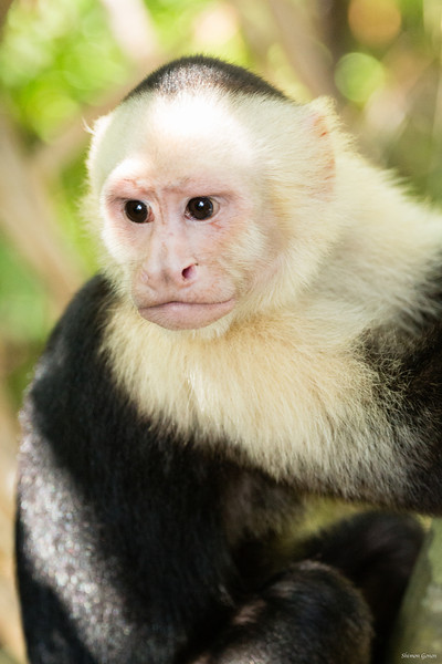 White Faced Monkey - Costa Rica