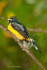 Black- throated Trogon-6426
