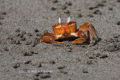 Ghost Crab-6385