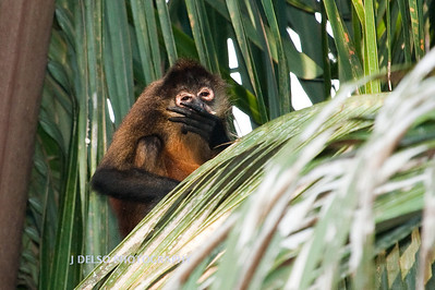 Central American Spider Monkey-6456