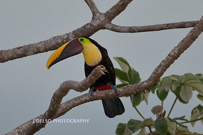 Chestnut-mandibiled Toucan-6443