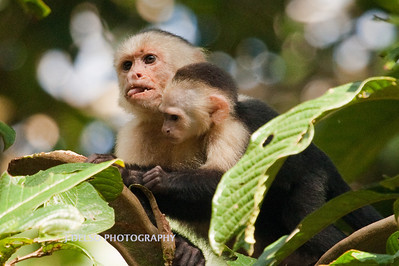 White-faced Capuchin-6477