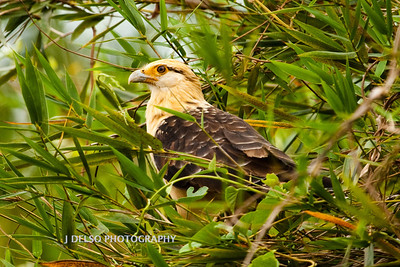 Yellow-headed Caracara-6422