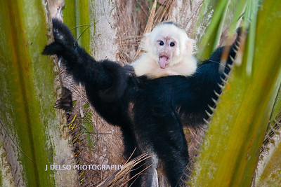 White-faced Capuchin-6576