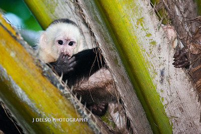 White-faced Capuchin-6577