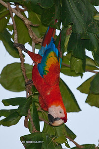 Scarlet Macaw-6480