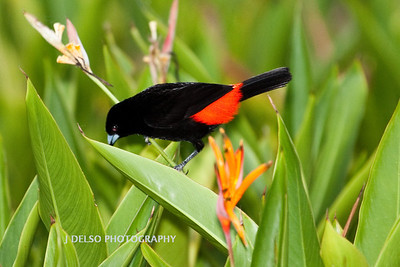 Cherrie's Tanager-6448