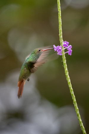 Rufus-tail hummingbird
