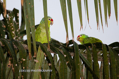 Red-lored Parrots-6547