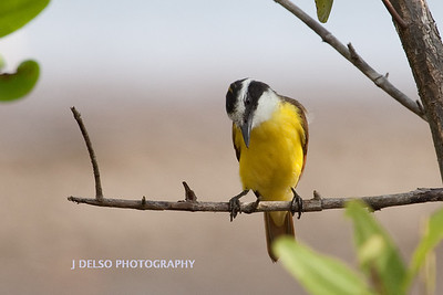 Great Kiskadee-6392