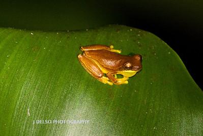 Tree Frog-6564