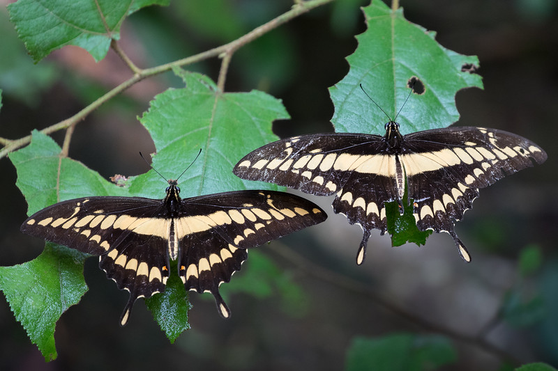 King swallowtail butterfly