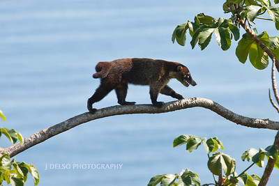 White-nosed Coati-6521