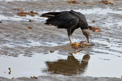 Black Vulture-6396