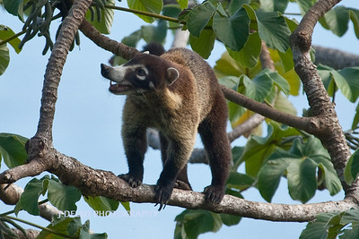 White-nosed Coati-6525