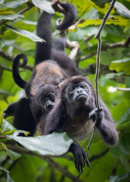 Mantled howler monkey with baby