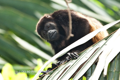 Mantled Howler Monkey-6486