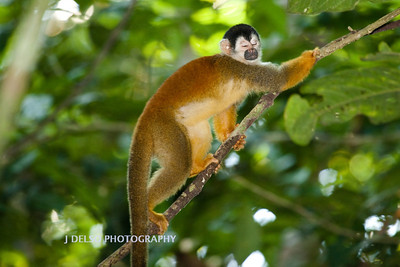 Red-backed Squirrel Monkey-6471
