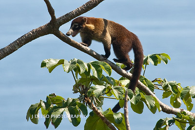 White-nosed Coati-6518