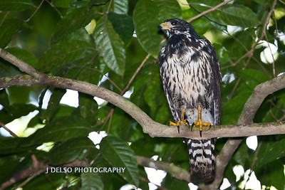 Juvenile Black Hawk-6590