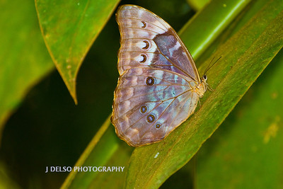 Owl Butterfly-6474