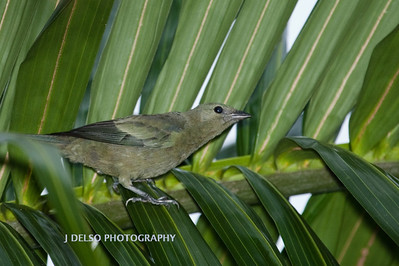 Palm Tanager-6445