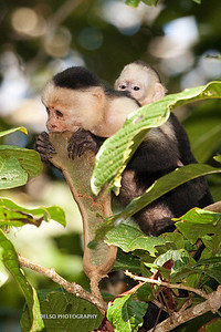 White-faced Capuchin-6475