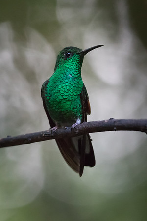 Green-crowned Brilliant Hummingbird at Monteverde Cloud Forest Reserve