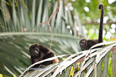 Mantled Howler Monkey-6487