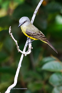 Tropical Kingbird-6368