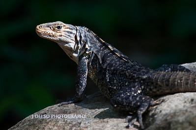 Black Iguana-6376