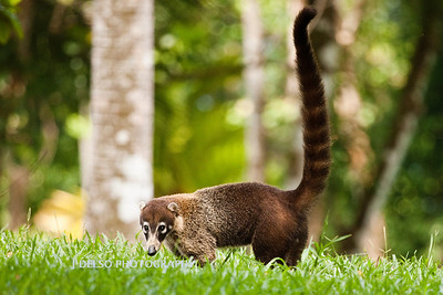 White-nosed Coati-6490