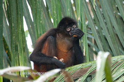 Central American Spider Monkey-6453