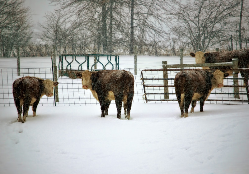 Ohio beef cattle out enjoying the winter snow